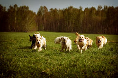 Large group of dogs Golden retrievers running royalty free stock photo