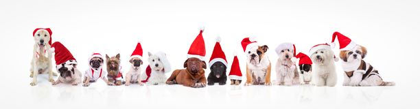 Large group of dogs wearing santa claus hats and costumes Royalty Free Stock Image