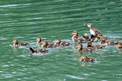 Large Group of Ducklings. Large combined family group of mallard ducklings in a lake or pond. One is standing up, being an individual among the crowd. Could also Stock Photography