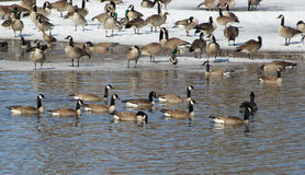 Peaceful Winter Retreat. A large group of ducks and geese staging just off an ice patch on a southern Wisconsin stream Royalty Free Stock Photos