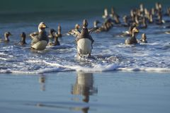 Falkland Steamer Ducks coming ashore Stock Photo