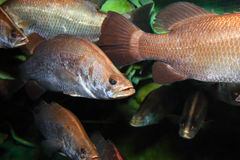 Large group of fish. Underwater royalty free stock image