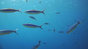 A large group of fish swim in the Red Sea stock video