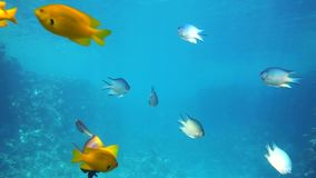 A large group of fish swim in the Red Sea stock video footage