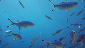 A large group of fish swim in the Red Sea stock footage