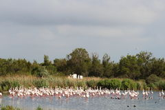 Large group of flamingos in the Camargue, France stock photography