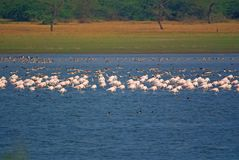 Large group of flamingos and greylag gooses resting in lake stock photos