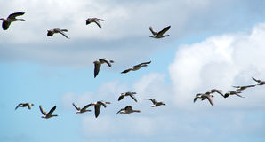 Large group of flying ducks Royalty Free Stock Photos