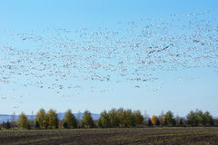 Large group of flying snow geese Royalty Free Stock Photo