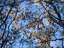 Large group of fruit bat or flying fox hanging on the tree branch Gold Coast Australia royalty free stock photo