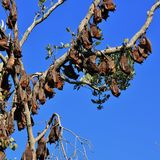 Large group of fruit bats hanging in a tree Royalty Free Stock Image