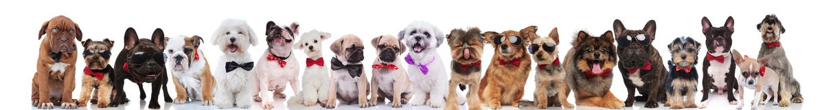 Large group of gentleman dogs of different breeds wearing bowtie. S standing, sitting and lying on white background Stock Images
