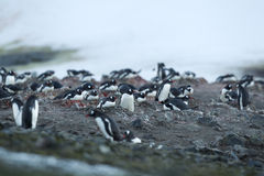 Large group of gentoo Royalty Free Stock Photos
