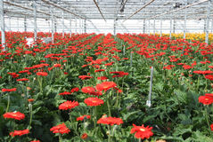 Large group of gerbera flowers Stock Photo