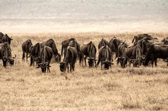 Large group of  gnu in the Ngorongoro crater, Tanzania, Africa. Royalty Free Stock Image