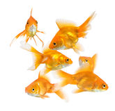 Large group of goldfish Royalty Free Stock Photos