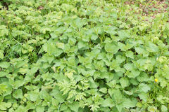 Large group of green nettles growing wild Royalty Free Stock Photos