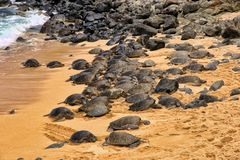 Large group of green sea turtle resting on Hookipa beach on Maui, Hawaii. stock images