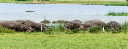 Group of hippos lying on land stock photography