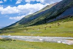Large group of horses grazing near river Royalty Free Stock Image