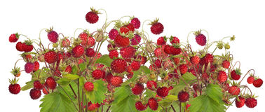 Large group of isolated red wild strawberries Royalty Free Stock Image
