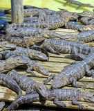 Large Group Of Juvenile Alligators Sunning Themselves. On a wood deck royalty free stock photos