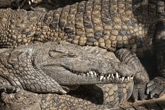 Large group of juvenile Nile crocodiles sharing  the beach Stock Photography