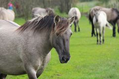 A group konik horses grazing in the fields stock photography