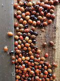 Large group of ladybirds some non-native to the UK hibernating inside wooden waste bin stock photo