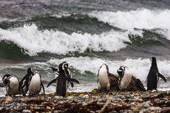 A large group of Magellanic penguins on a pebble beach Royalty Free Stock Photos