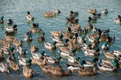 Mallard ducks swim in the lake. A large group of mallard ducks are bathed in the water Royalty Free Stock Images