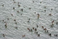 Mallard ducks swim in the lake. A large group of mallard ducks are bathed in the water Stock Photography