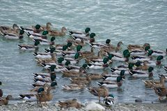 Mallard ducks swim in the lake. A large group of mallard ducks are bathed in the water Stock Photos
