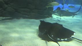 A large group of Manta Rays swimming stock footage