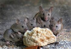 Large group of mice in garden. Large group of mice  in urban house garden eating a piece of cake Royalty Free Stock Images