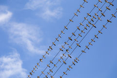 Large group of migrating swallows on wire. With a beautiful sky background Royalty Free Stock Photos