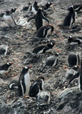 Large group of nesting gentoo penguins Stock Image