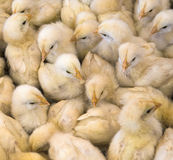 Large group of newly hatched chicks on a chicken farm Stock Photos