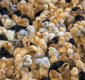 Large group of newly hatched chicks on a chicken farm. Stock Photography