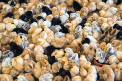 Large group of newly hatched chicks on a chicken farm. Stock Photo