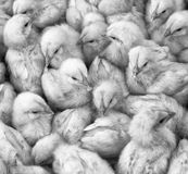 Large group of newly hatched chicks on a chicken farm. Royalty Free Stock Image