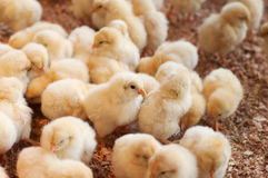 Large group of newly hatched chicks Stock Photo