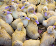 Large group of newly hatched ducklings on a farm Royalty Free Stock Photo