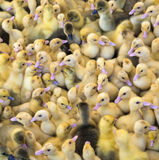Large group of newly hatched ducklings on a farm Stock Photo