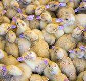 Large group of newly hatched ducklings on a farm.  stock photos