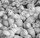 Large group of newly hatched ducklings on a farm. Stock Photography