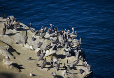 Large group of pelicans on the rocks Stock Images