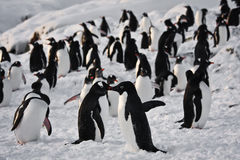 A large group of penguins Stock Photo