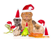 Large group of pets in red christmas hats. isolated on white bac Royalty Free Stock Photo