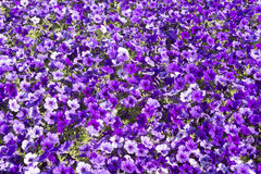 Large group of petunia flowers. Texture Stock Images
